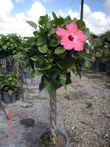 Hibiscus Tree Braided